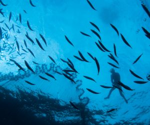 Pêche à la comète maquereau (cavala). Le plongeur, en apnée,  repère et rabat le banc de poissons vers le filet.  Ile de San Vicente. Cabo Verde (Cap Vert)